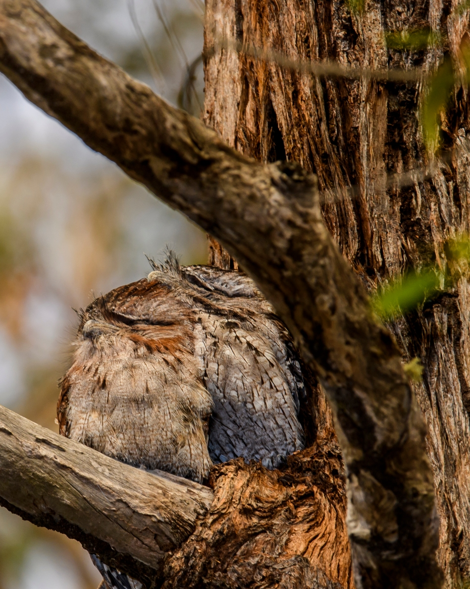 Frogmouth 1