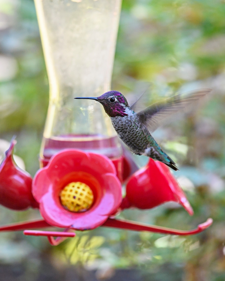 hummer-on-the-wing