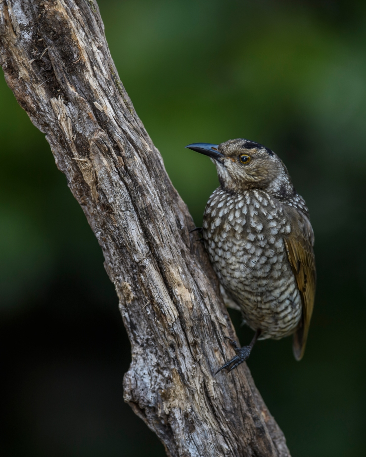 regent-bowerbird-fem-2