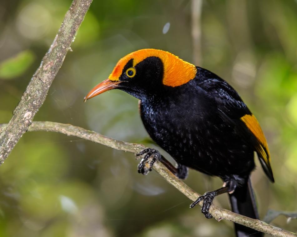 regent-bowerbird-male-2