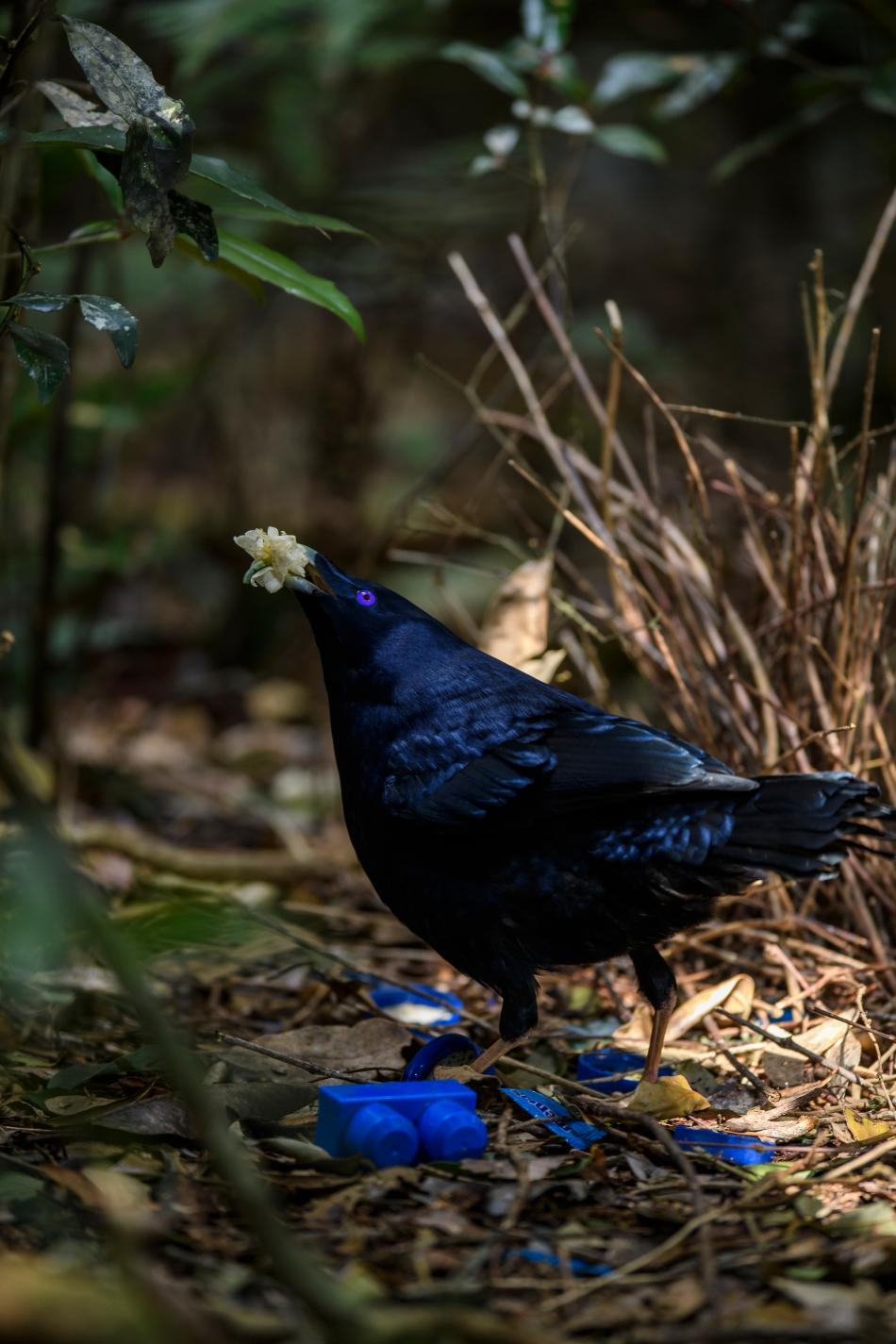 Satin Bowerbird 3
