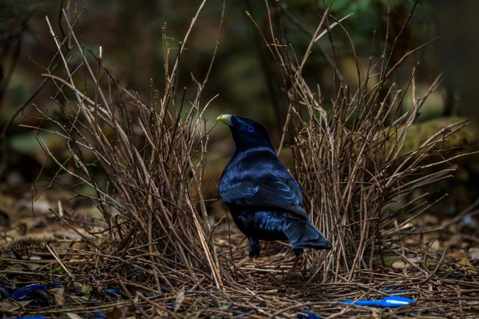 Satin Bowerbird 5
