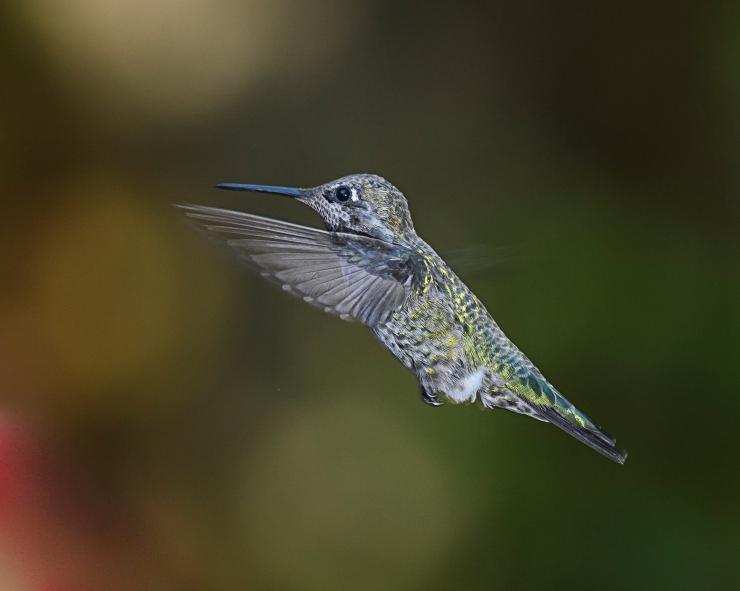 hummer-flying-3
