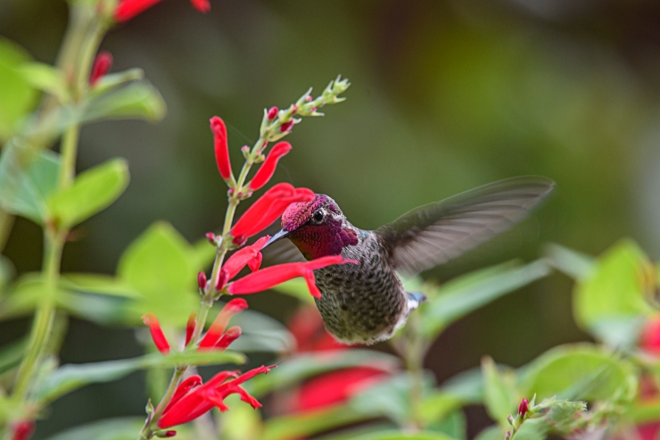 hummer-in-the-sage