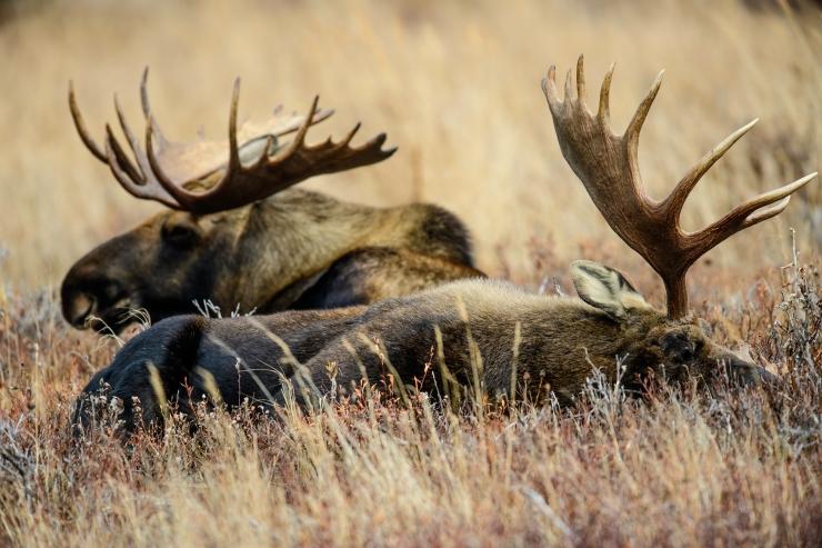 pair-o-moose-2
