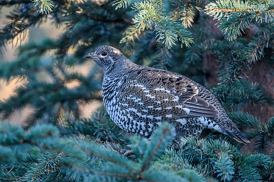 spruce-grouse-female