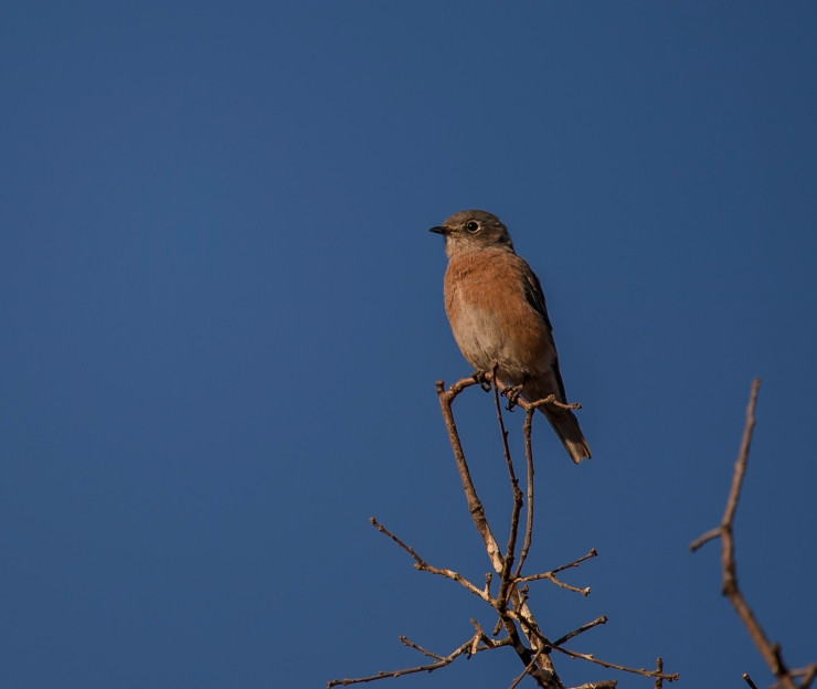 western bluebird fem..jpg