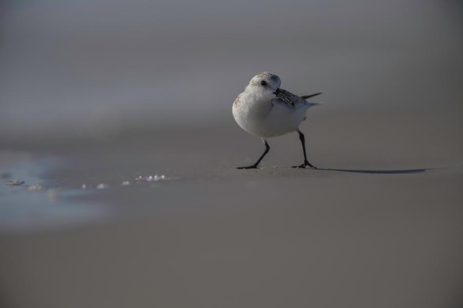 Beach Panning Sanderling.jpg