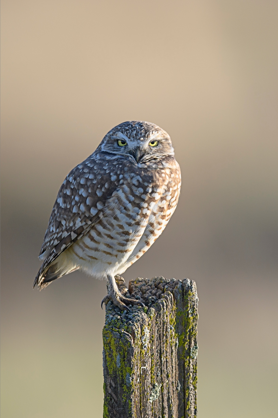 Burrowing Owl 1.5.jpg