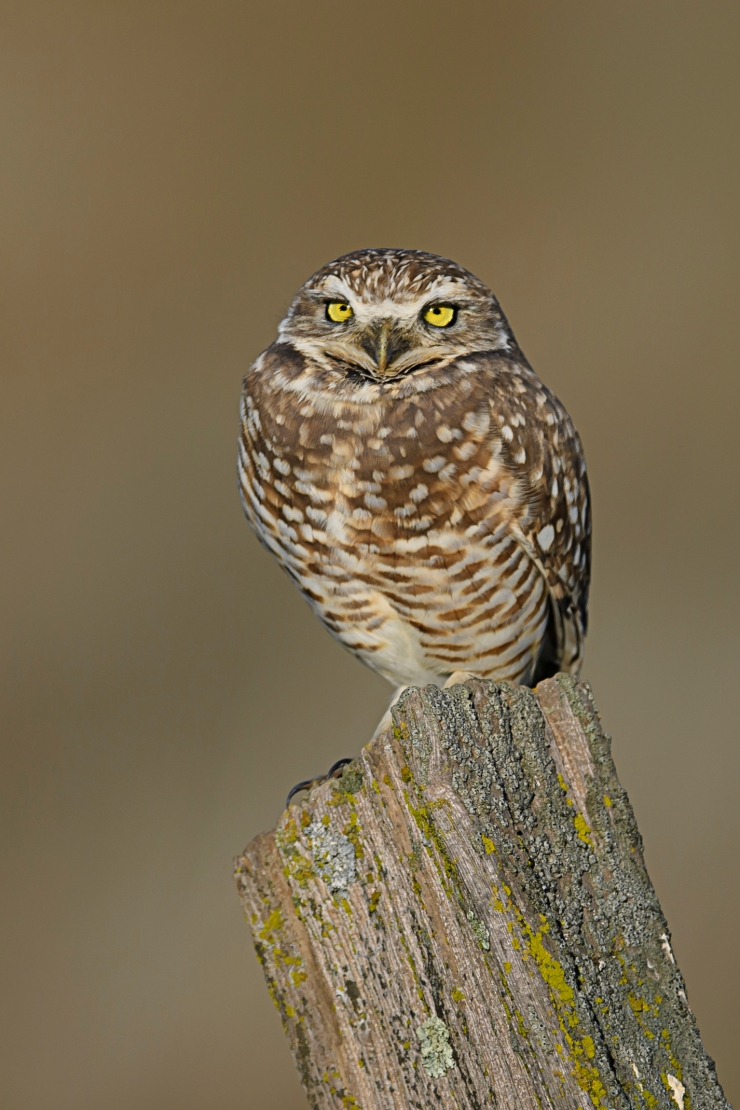 burrowing-owl-2