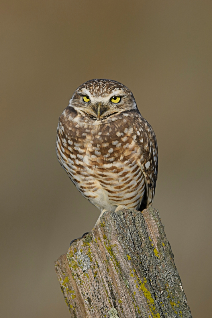 burrowing-owl1