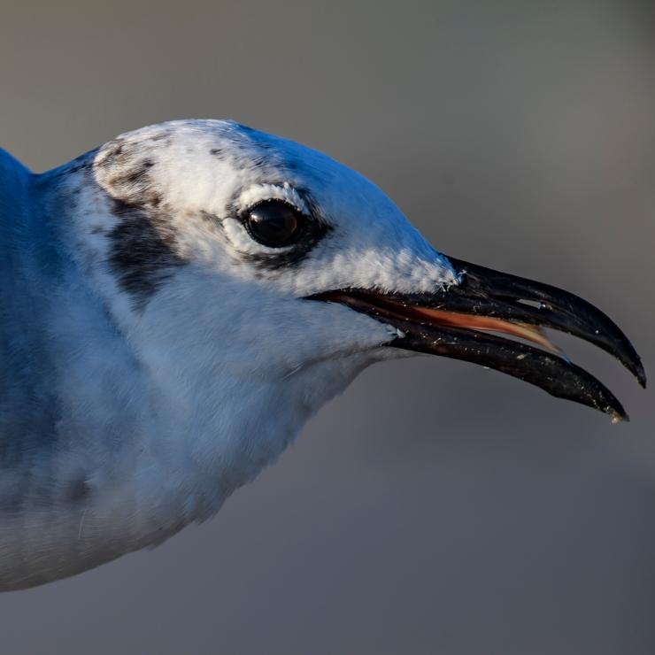 Gull closeup.jpg