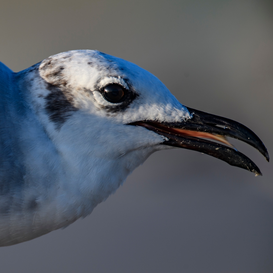 Gull closeup.jpg