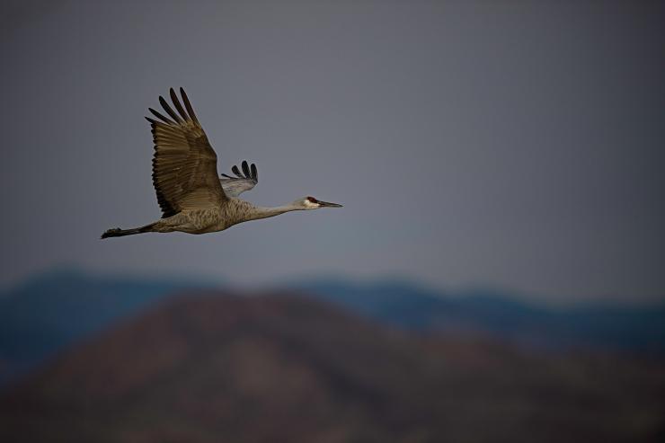 Lesser Sandhill Crane Flight 1.jpg