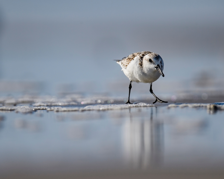 Reflecting Sanderling .jpg