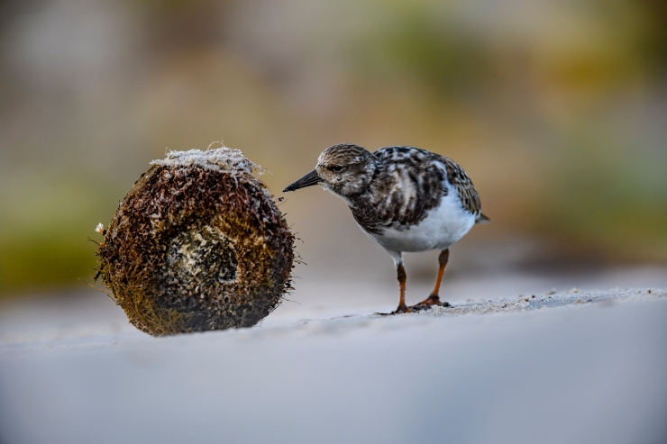 ruddy turnstone1.jpg