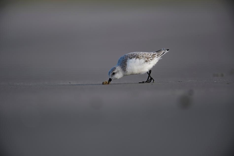 sanderling-1