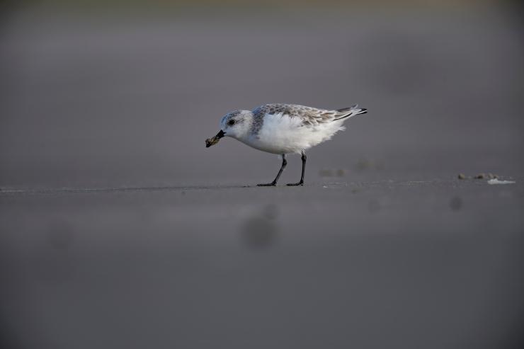 sanderling-2