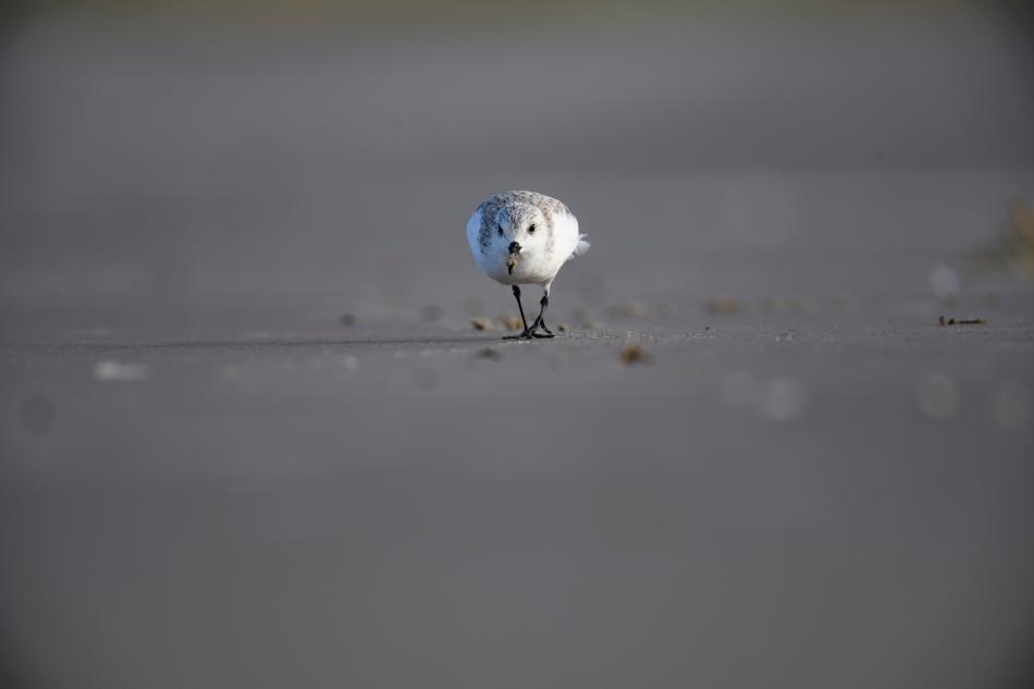 sanderling-3