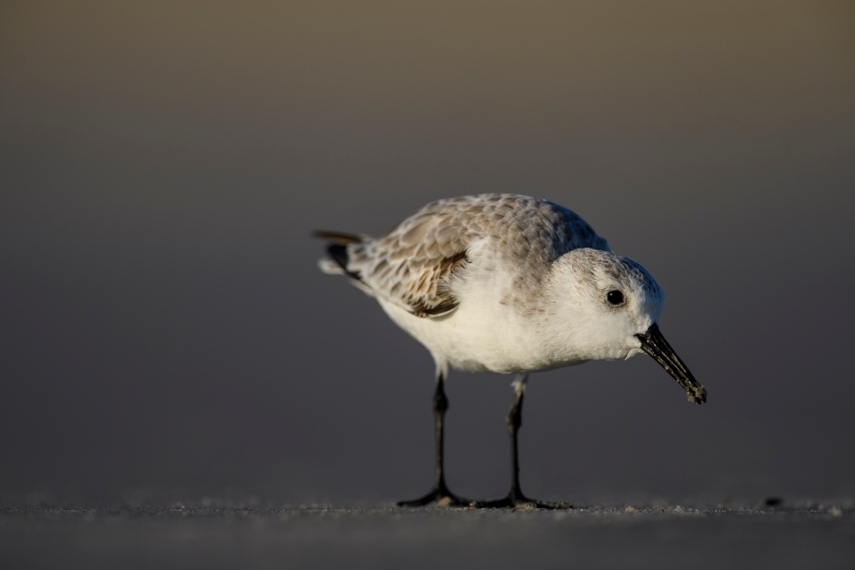 Sanderling on the beach.jpg