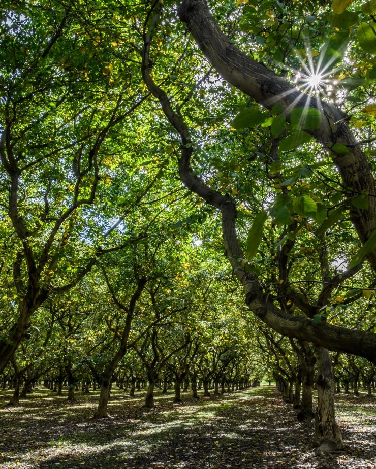 walnut-orchard