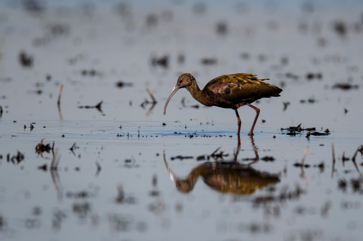 white-faced-ibis-2