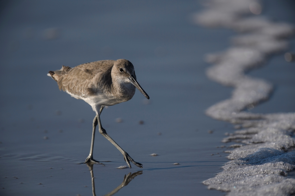 Willet in surf.jpg