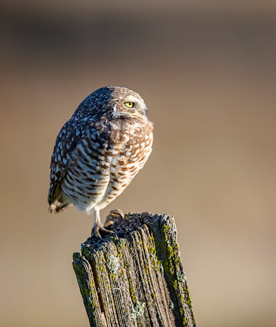 burrowing-owl-side-view