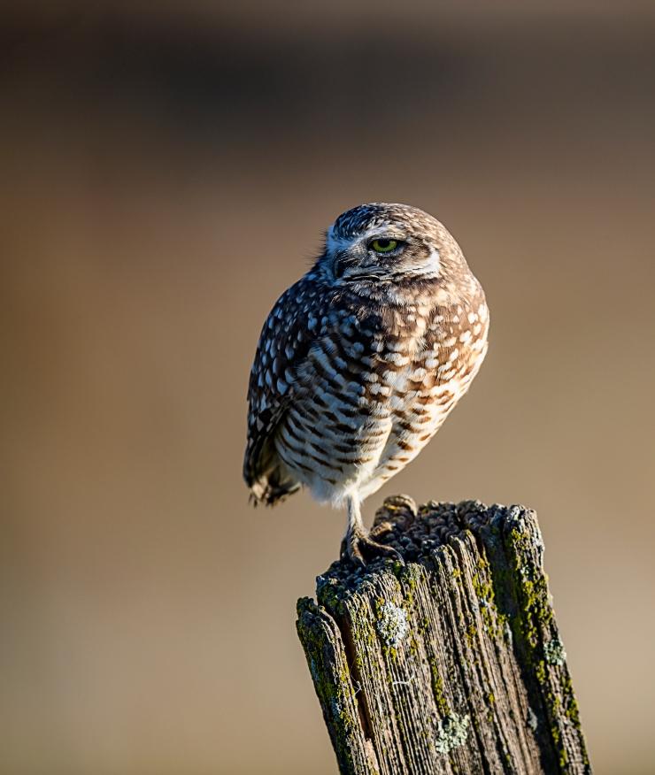 burrowing-owl-three-quarter-view