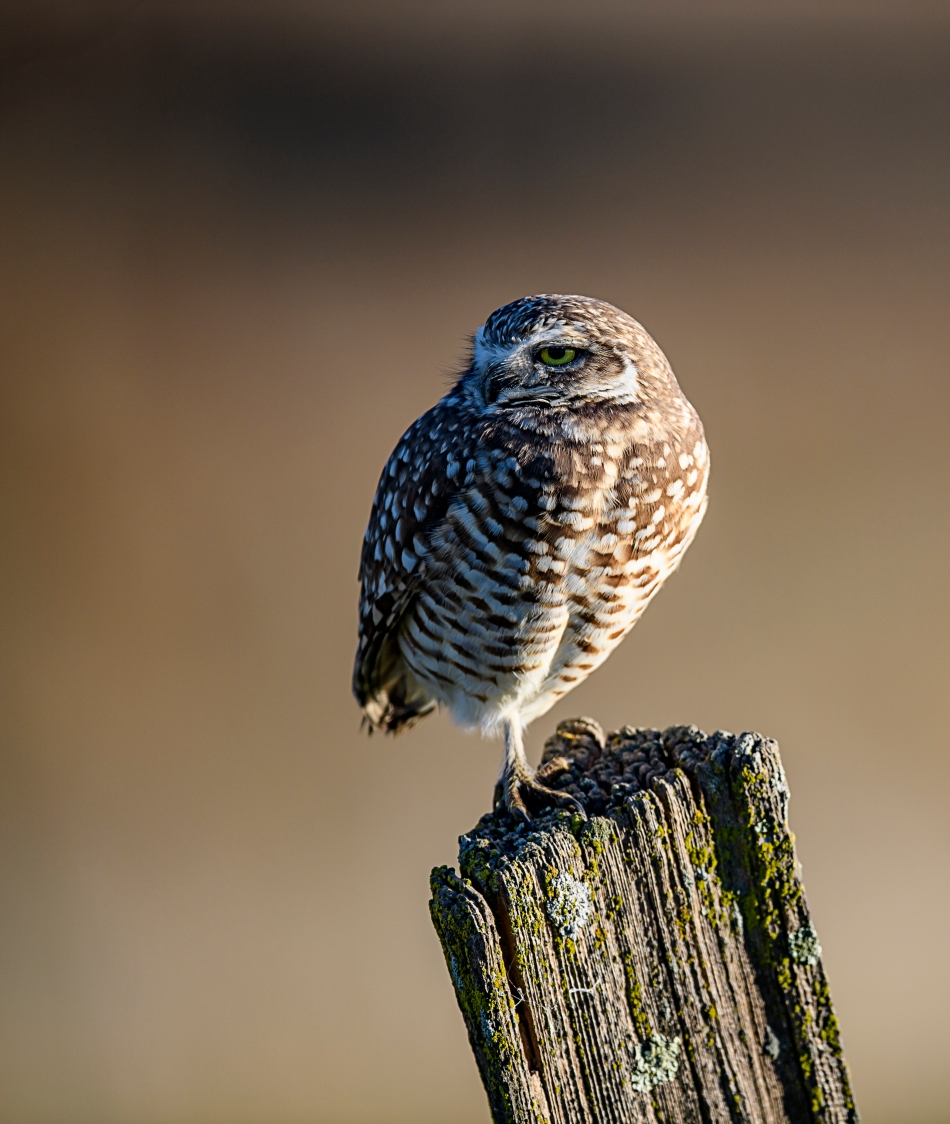 burrowing-owl-three-quarter-view