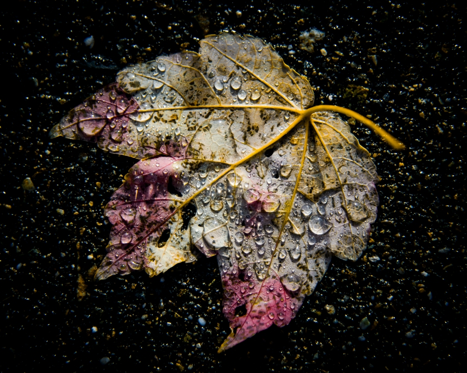 fallen leaf with rain drops2.jpg