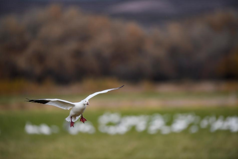 landing snow goose.jpg