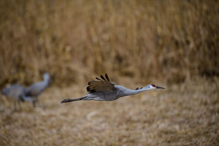 nictitating eye crane.jpg