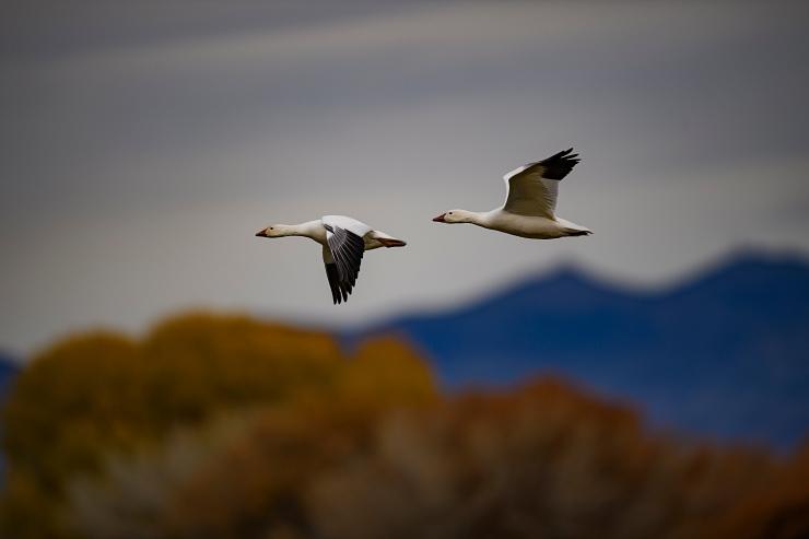 pair of flying snowgeese.jpg