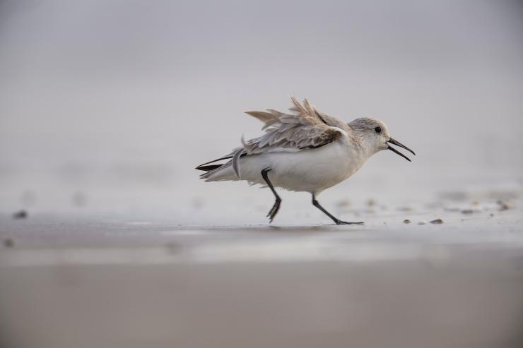 Running sanderling.jpg