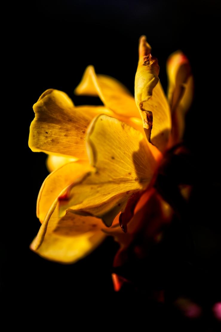 Theme-yellow rose 2-Carol Smith.jpg