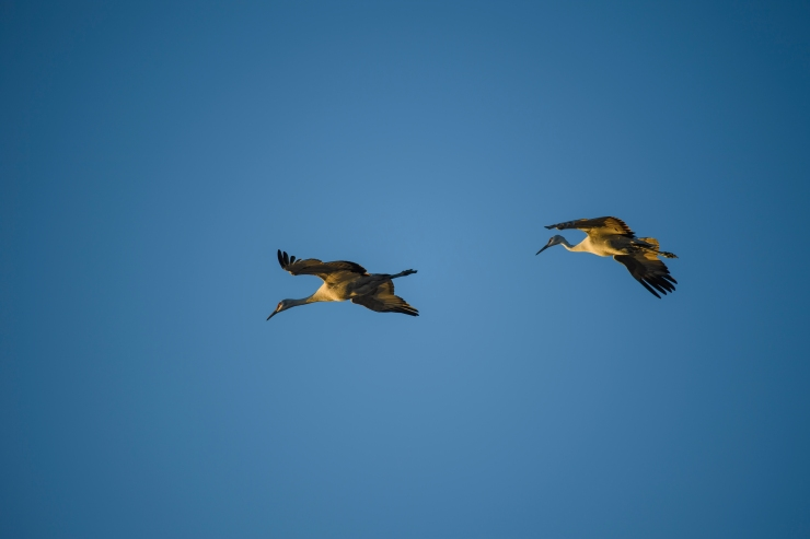 two cranes flying.jpg