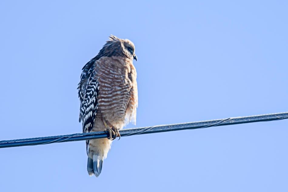 perching red shouldered hawk.jpg