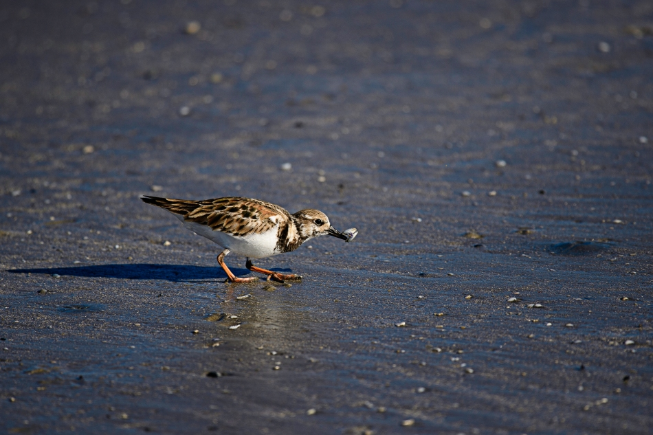 ruddy-turnstone-and-coquina