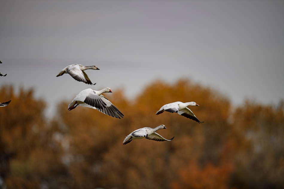 snowgeese-downbeat