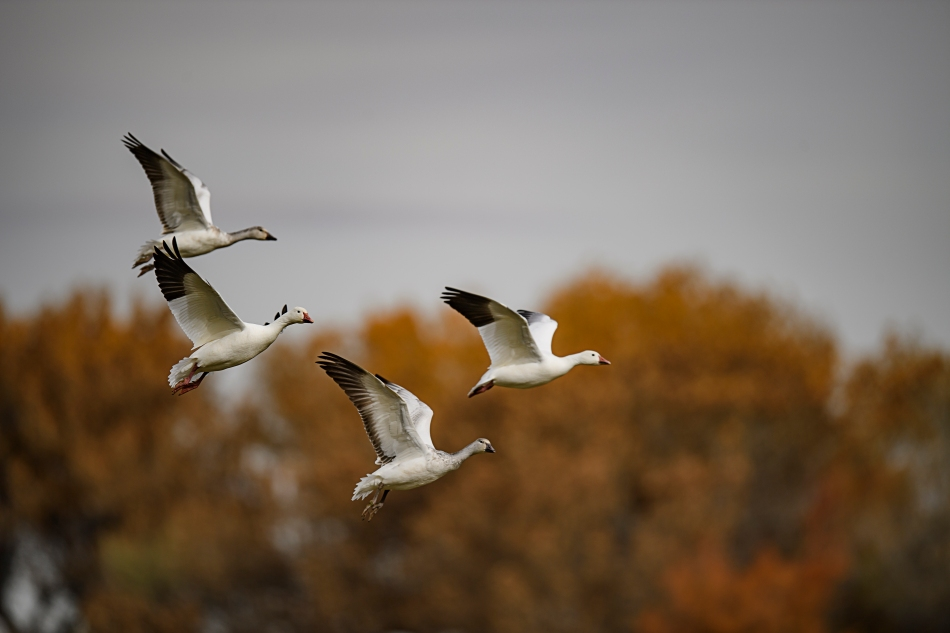 snowgeese-upbeat