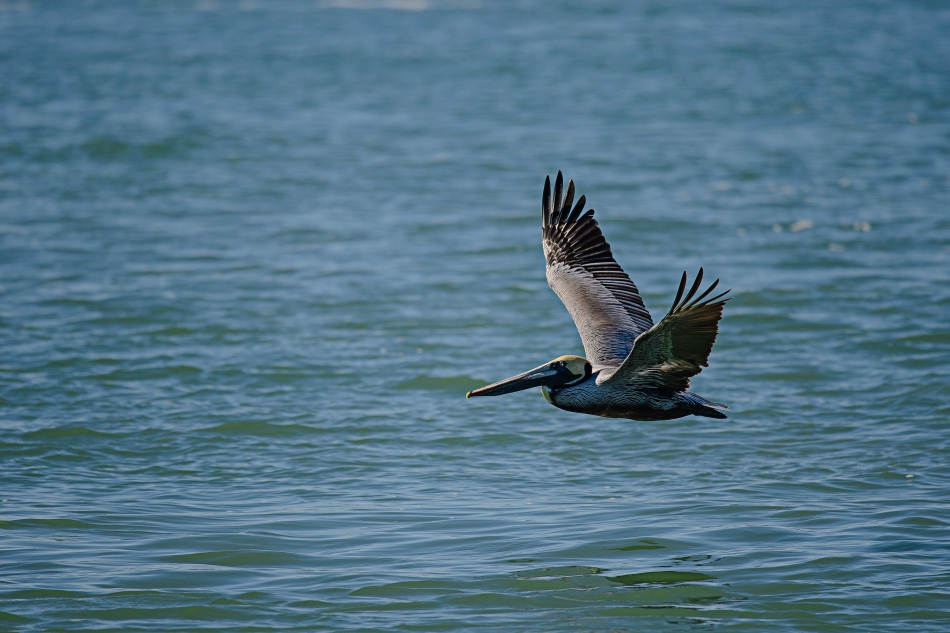 brown pelican jetty 2.jpg