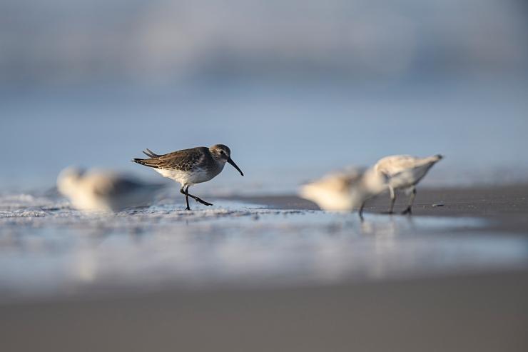 Dunlin with sanderlings.jpg
