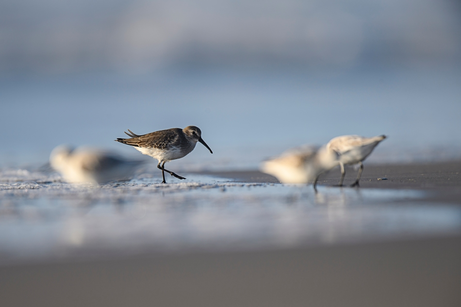 Dunlin with sanderlings.jpg