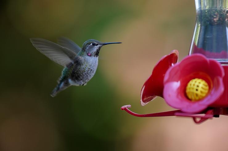 Flying hummer at feeder.jpg