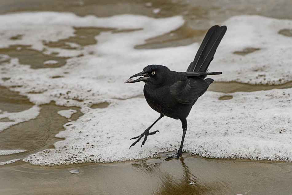 great tailed grackle.jpg