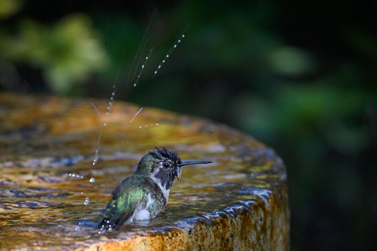 hummingbird splash.jpg
