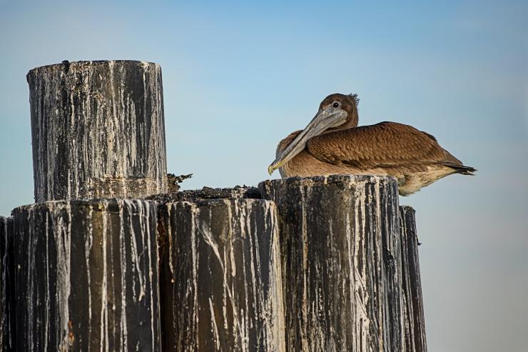 juvenile brown pelican on piling.jpg