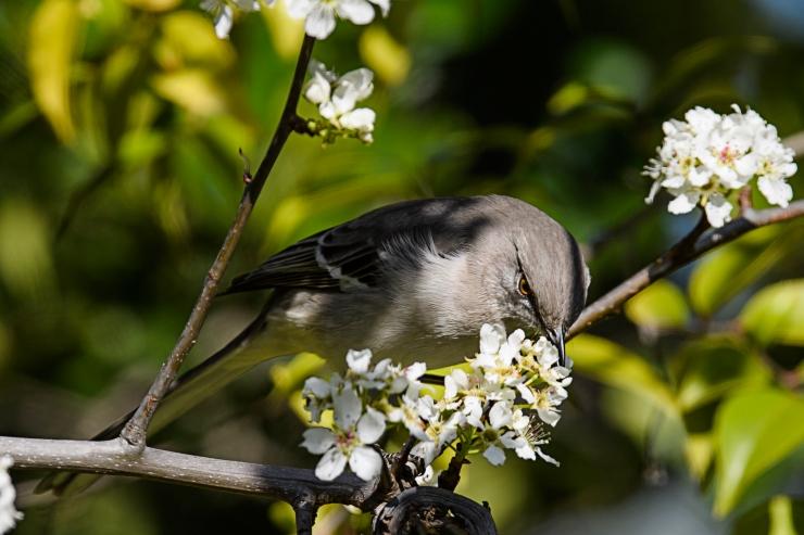 mockingbird eating blossom.jpg
