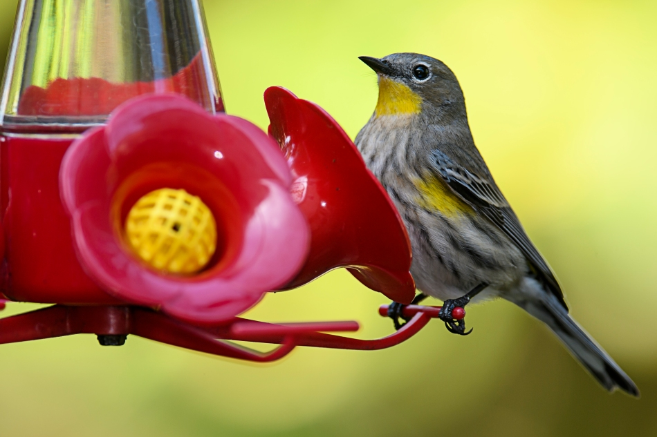 yellow-rump-on-feeder